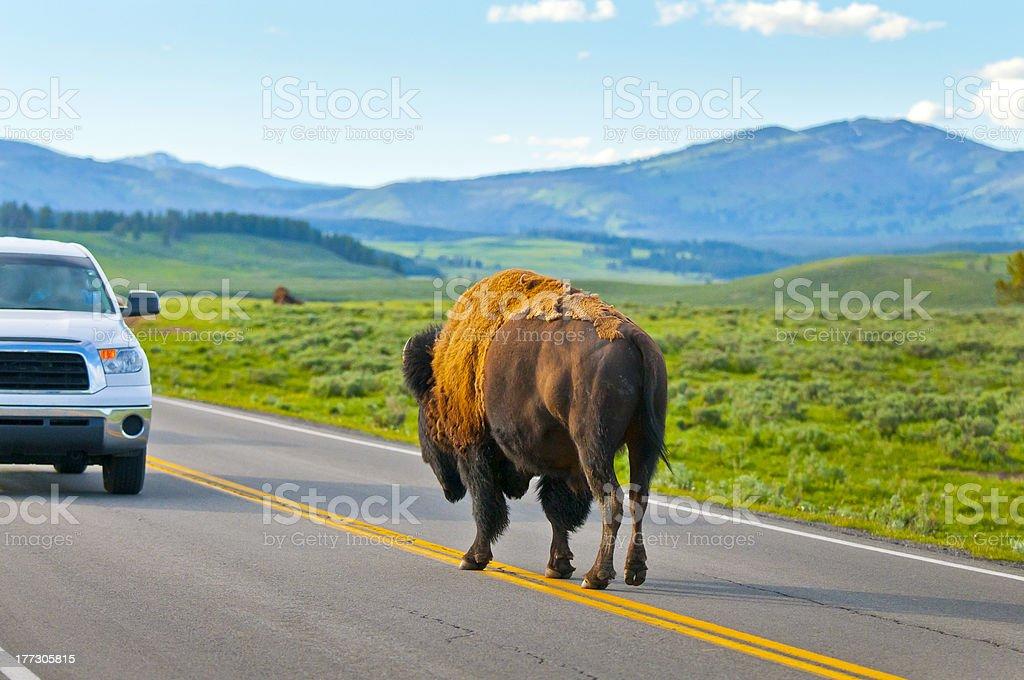 Buffalo vs Car royalty-free stock photo