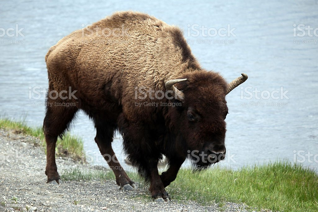 Buffalo walking along river. royalty-free stock photo
