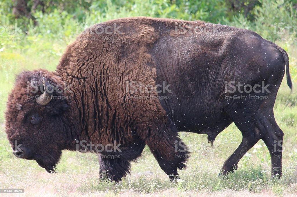 Buffalo walking stock photo