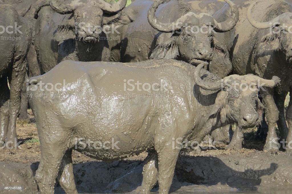 Buffalo wallowing in the mud stock photo