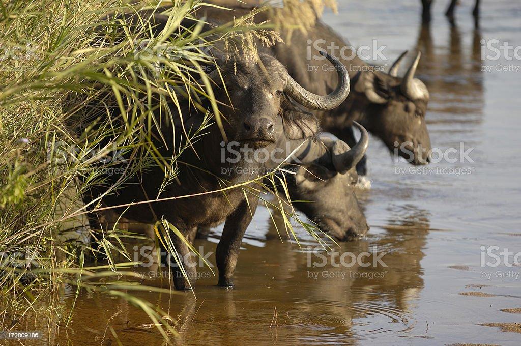 Buffalo watching us stock photo