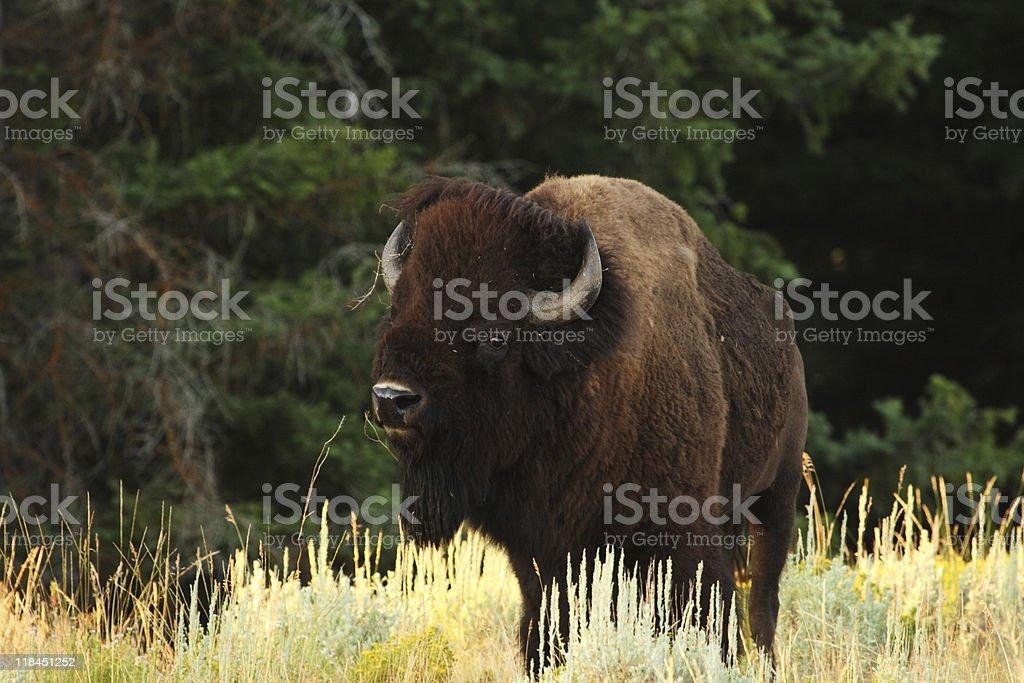 Buffalo/Bison royalty-free stock photo