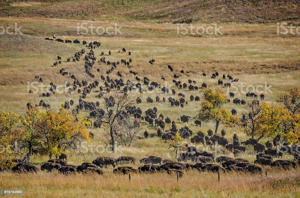 Buffalo/Bison stock photo