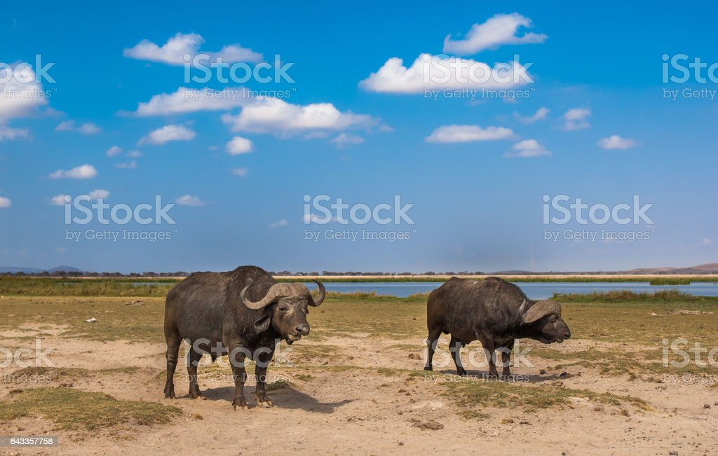 buffaloes at amboseli national park, kenya stock photo