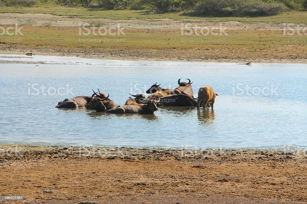 Buffaloes Bathing in a River royalty-free stock photo