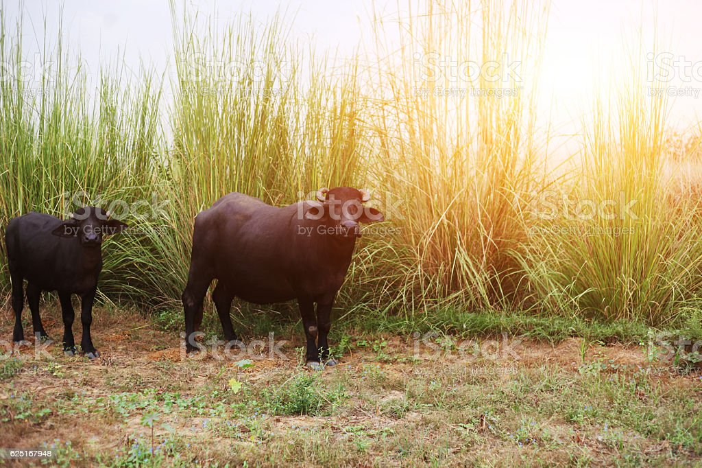 buffaloes  in a field stock photo