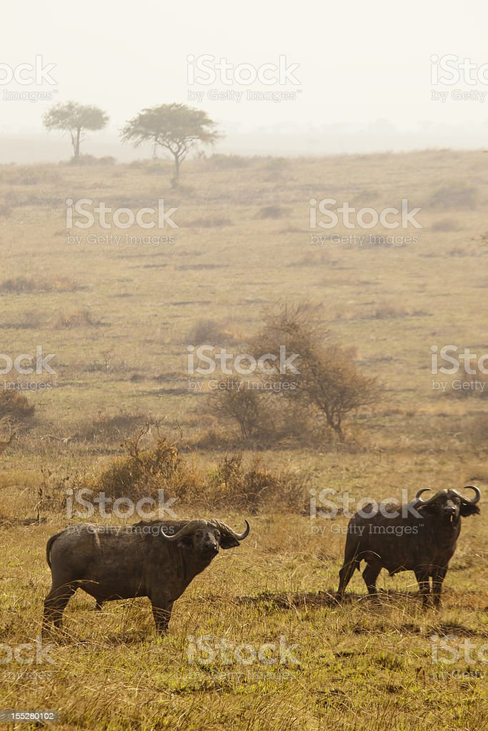 Buffaloes in Murchison Falls National Park with Acacia Trees stock photo