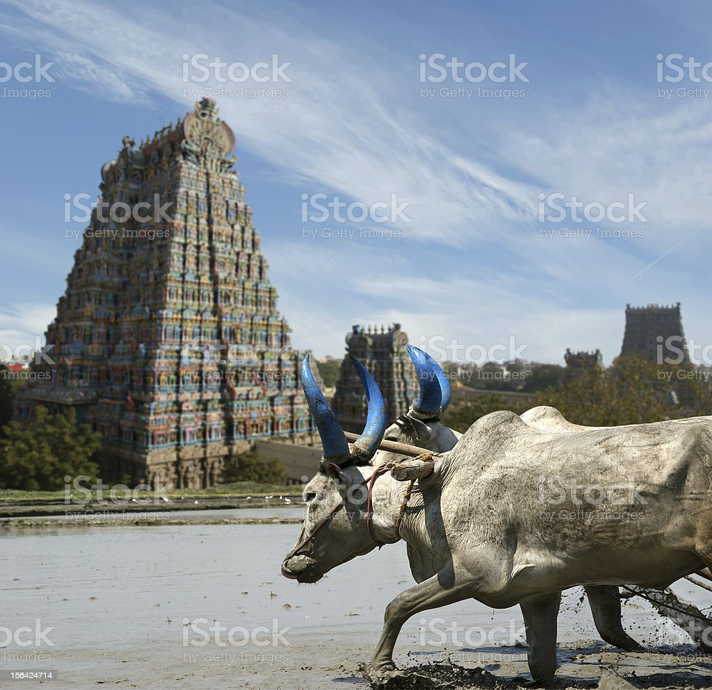 buffaloes in the rice fields stock photo