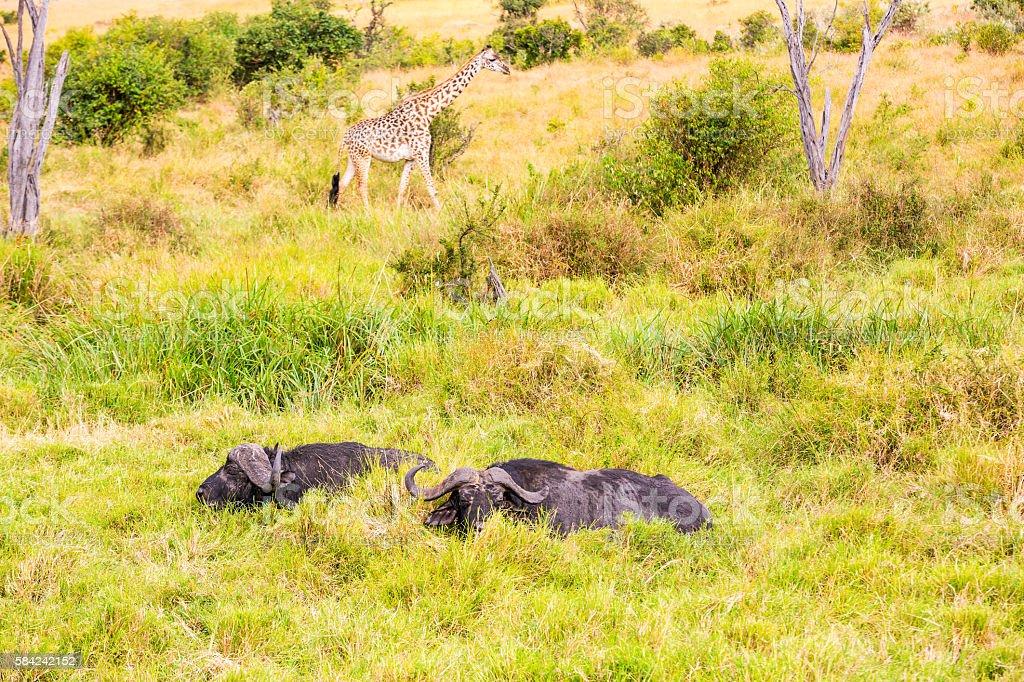 Buffalos grazing in water with Giraffe stock photo