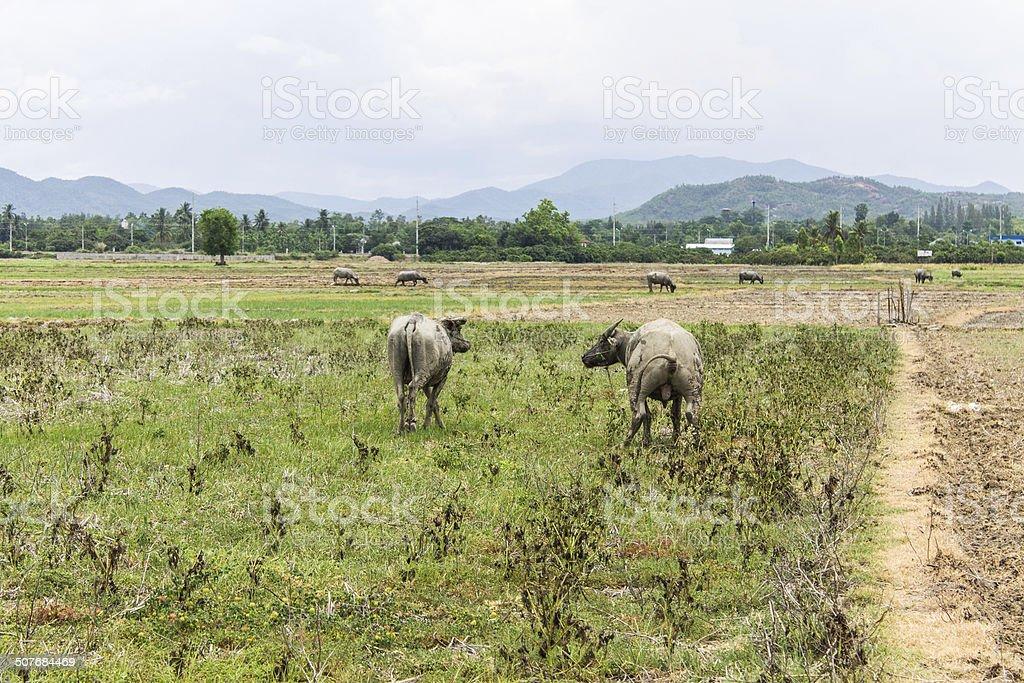 Buffalos in field stock photo