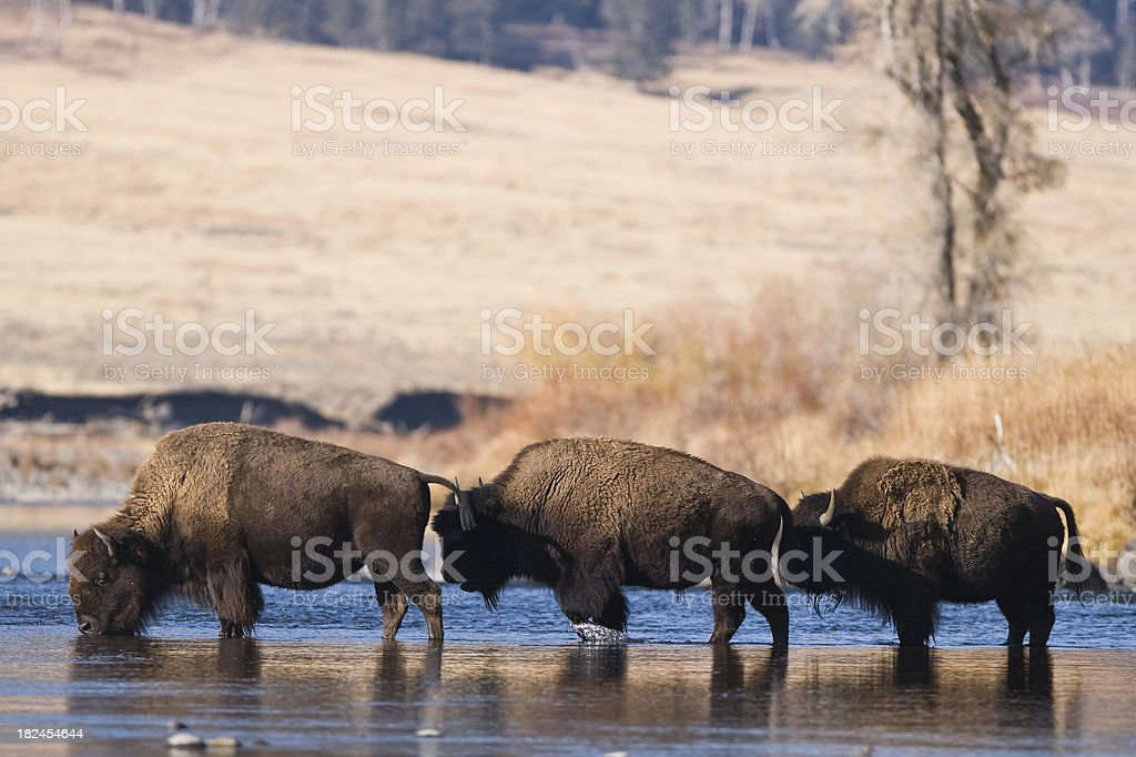 buffalos in water. stock photo
