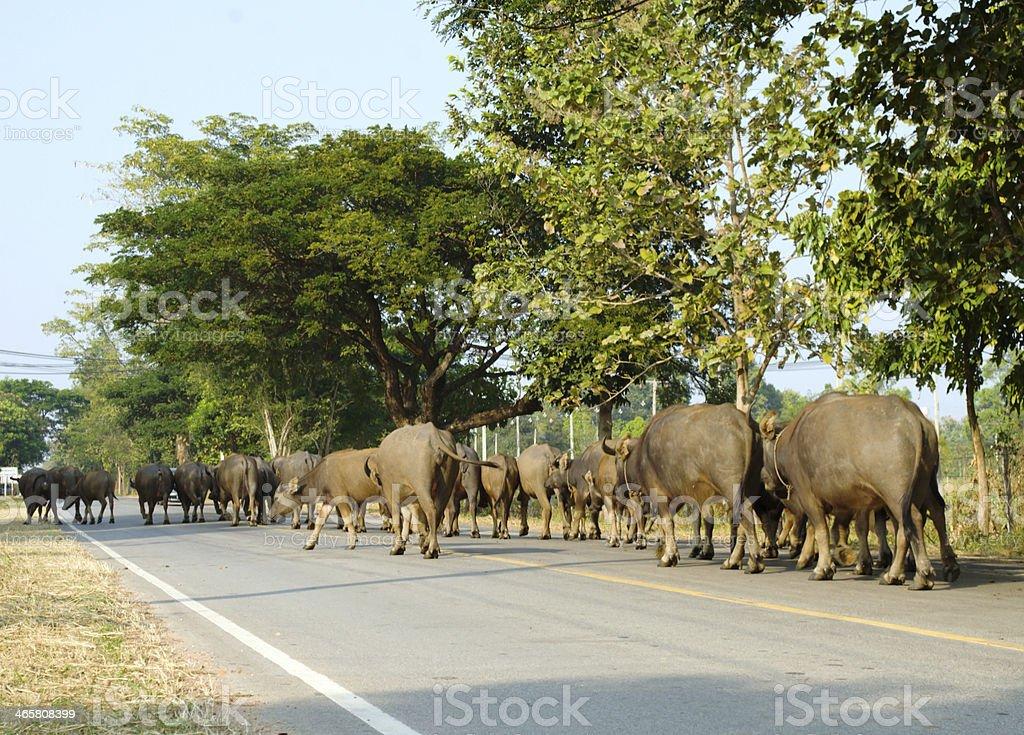 Buffalos on road stock photo