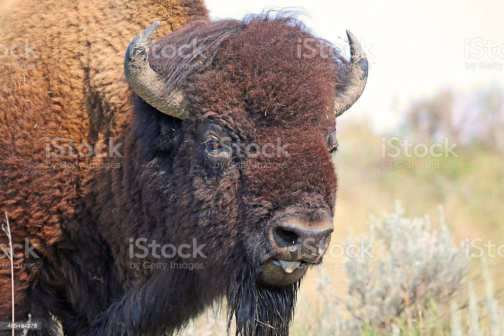 Buffalo's portrait stock photo