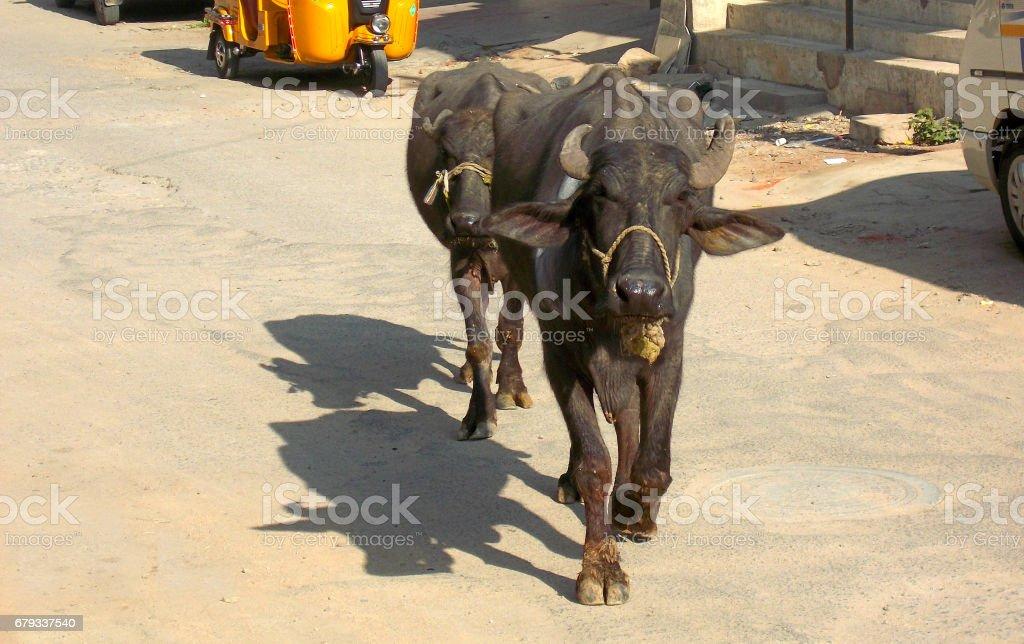 Buffalos walk on empty road in India stock photo