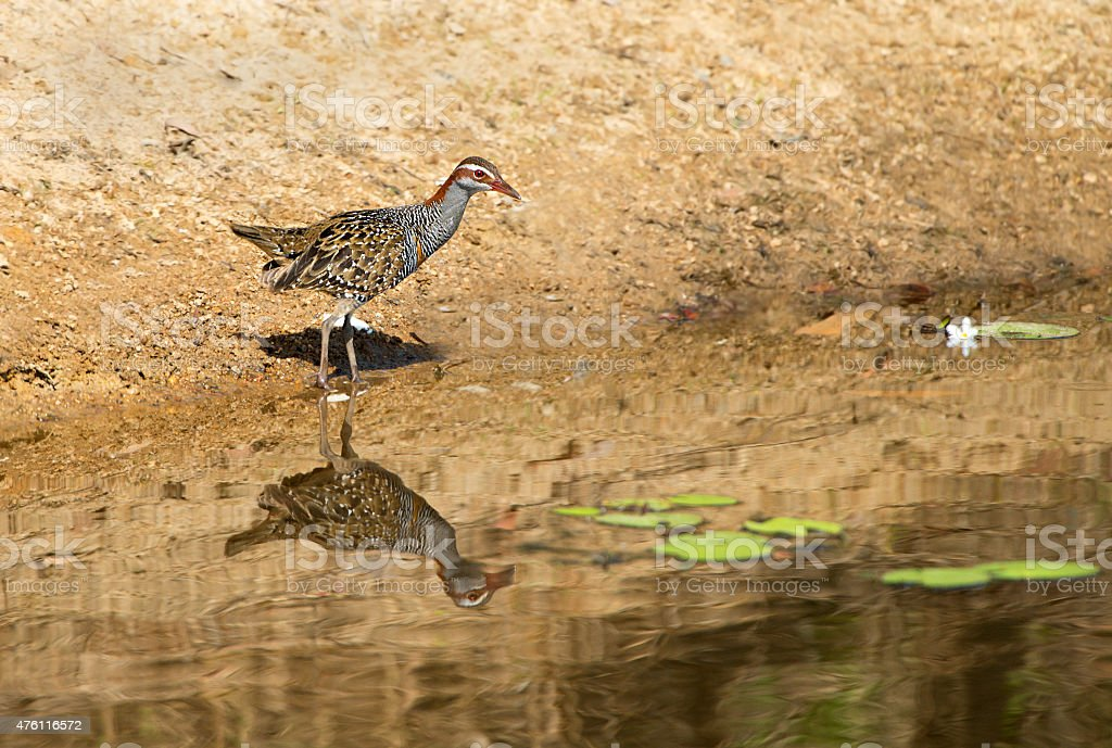 Buff-banded Rail with Reflection, Qld, Australia stock photo