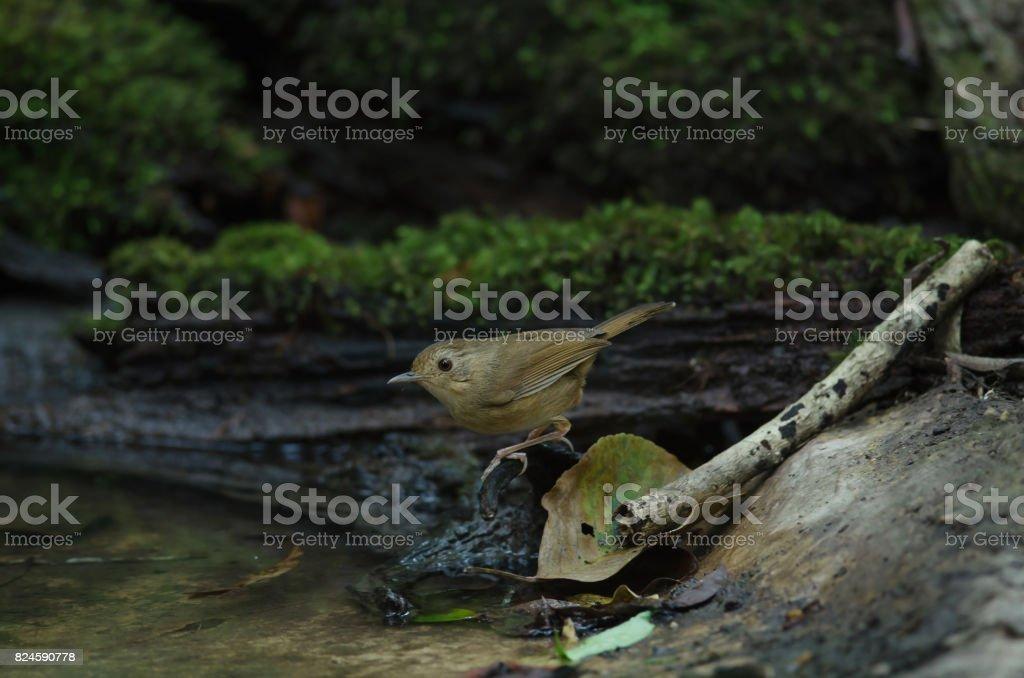 buff-breasted babbler (Trichastoma tickelli) stock photo