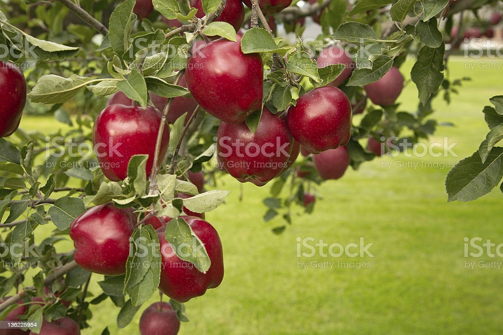 Buffed Red Delicious Apples with copy space. stock photo