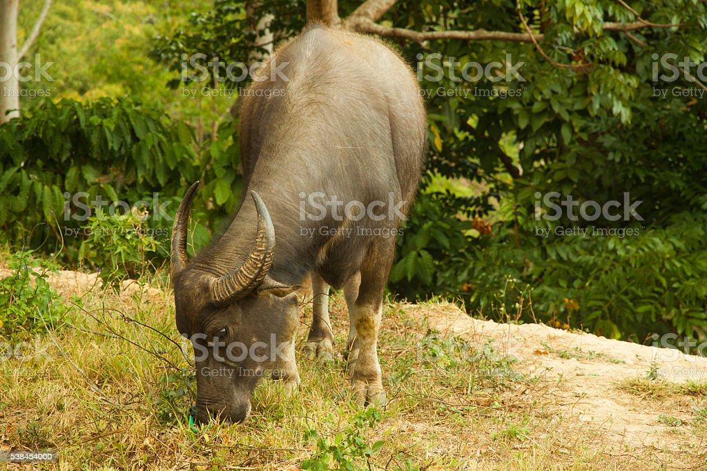buffelo cattle breed in traditional local style farm on Flores stock photo