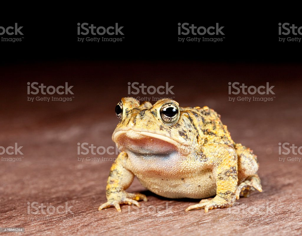 Buffo terrestris - southern toad stock photo