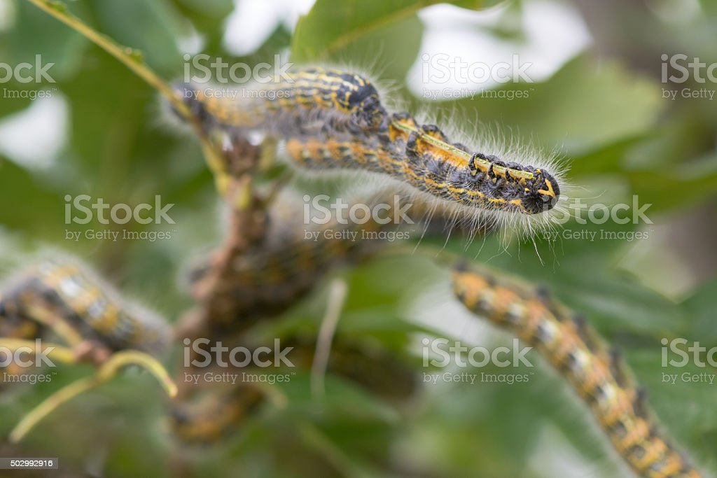 Buff-tip (Phalera bucephala) caterpillars stock photo