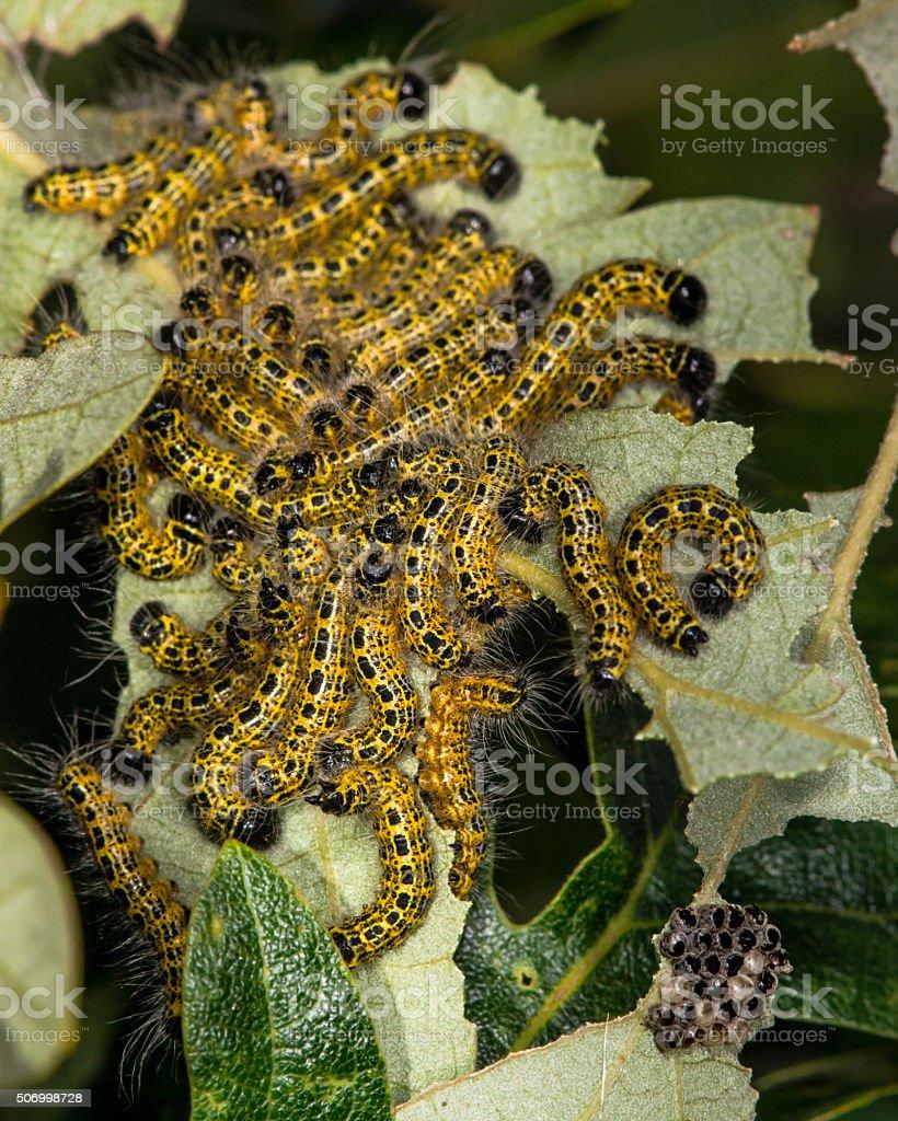 Buff-tip moth (Phalera bucephala) mid-instar caterpillars stock photo