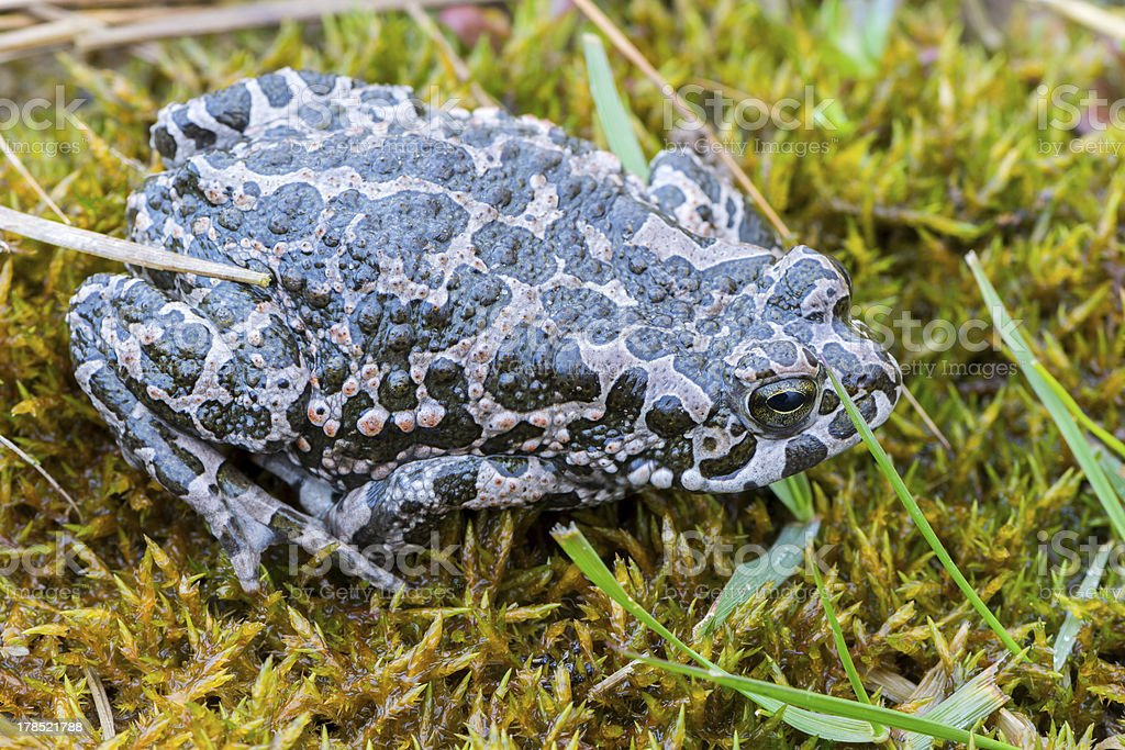 Bufo virdis royalty-free stock photo