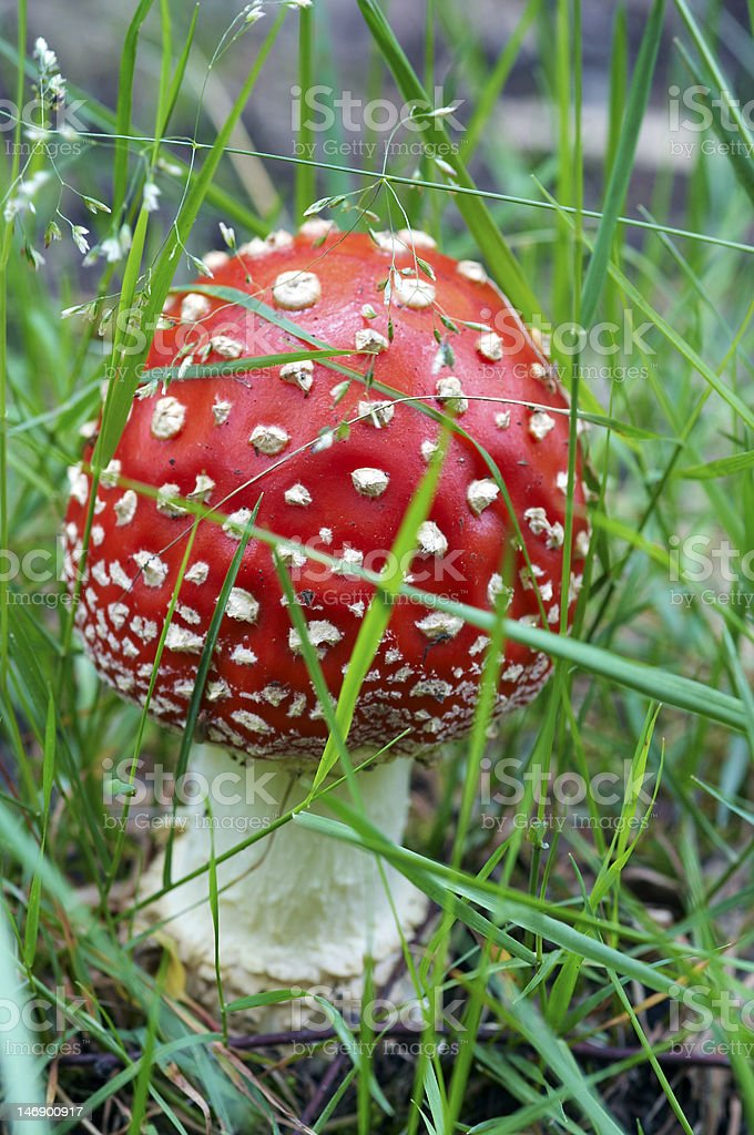 bug agaric royalty-free stock photo