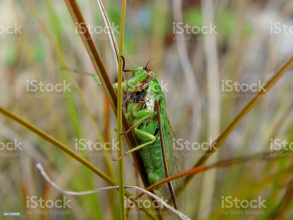 Bug, green cicada royalty-free stock photo
