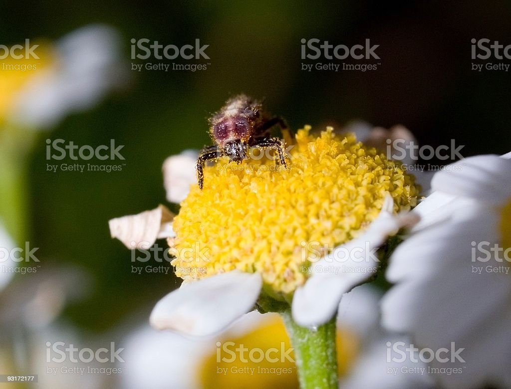 Bug in pollen royalty-free stock photo