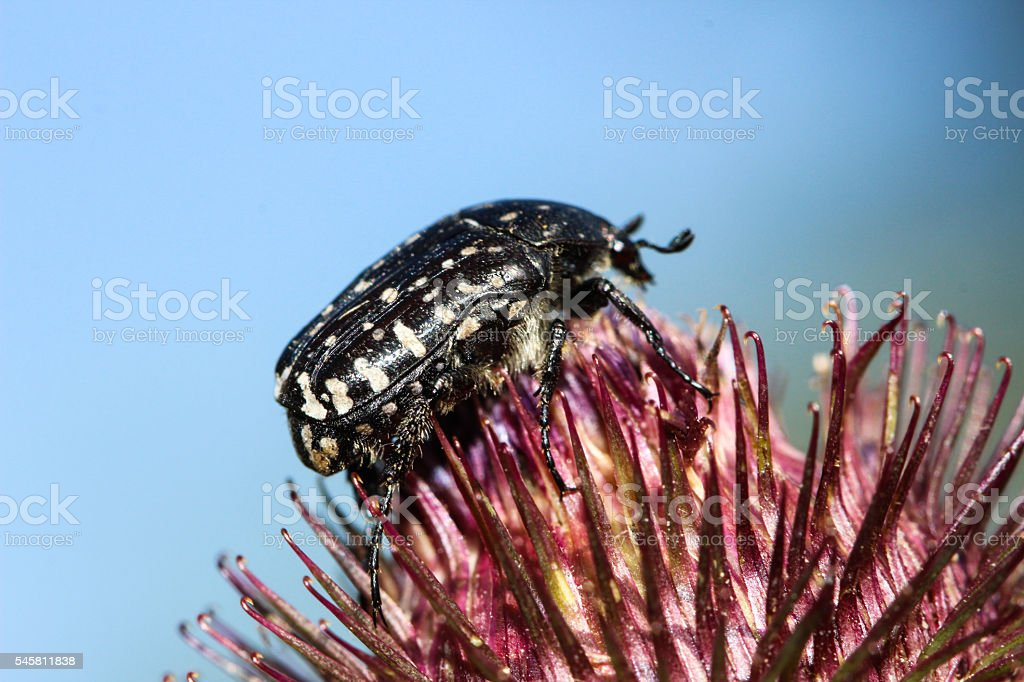 Bug on greater burdock stock photo