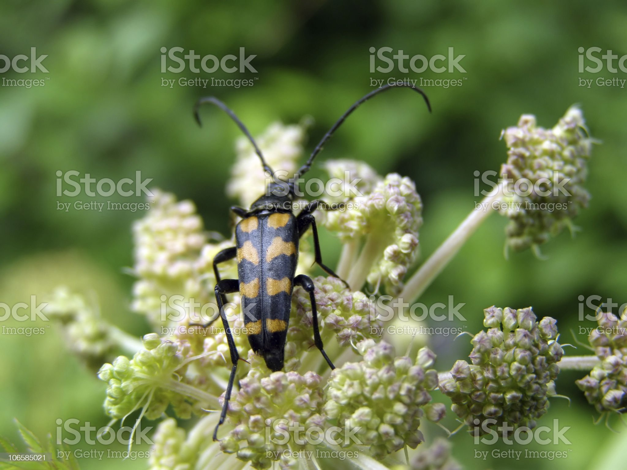 bug on raceme of the angelica royalty-free stock photo