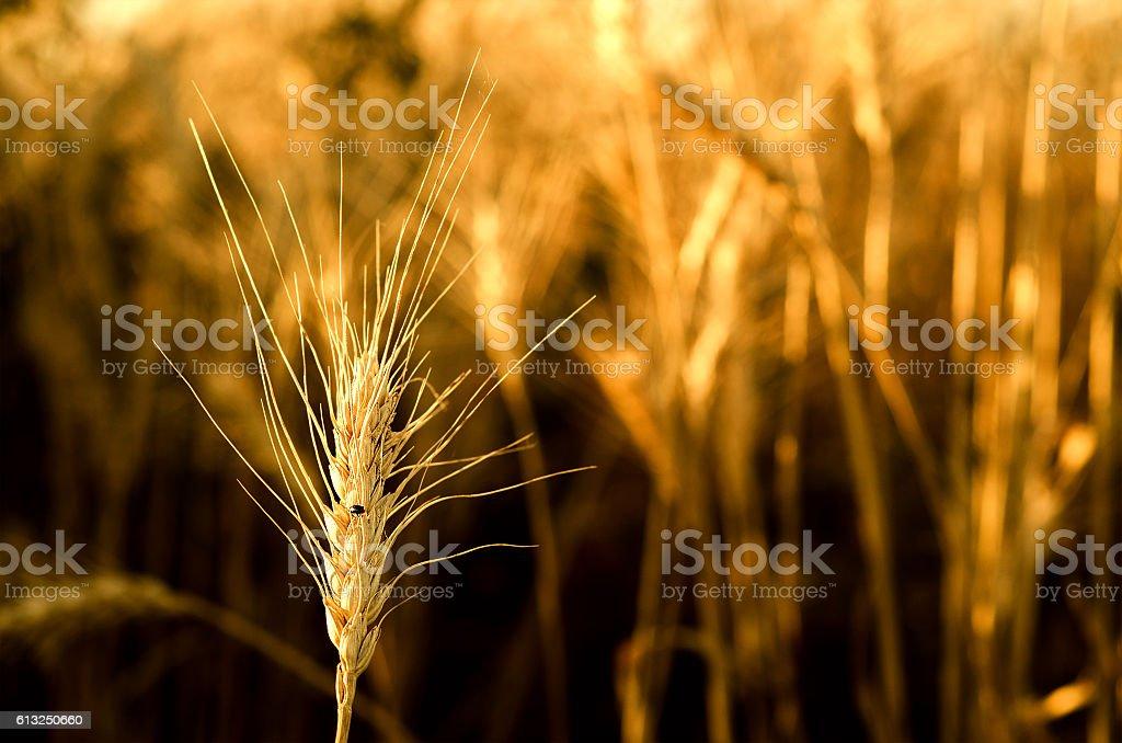 Bug on wheat ears stock photo