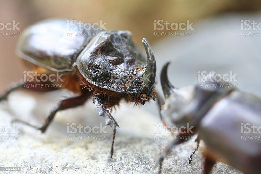 Bugfight royalty-free stock photo