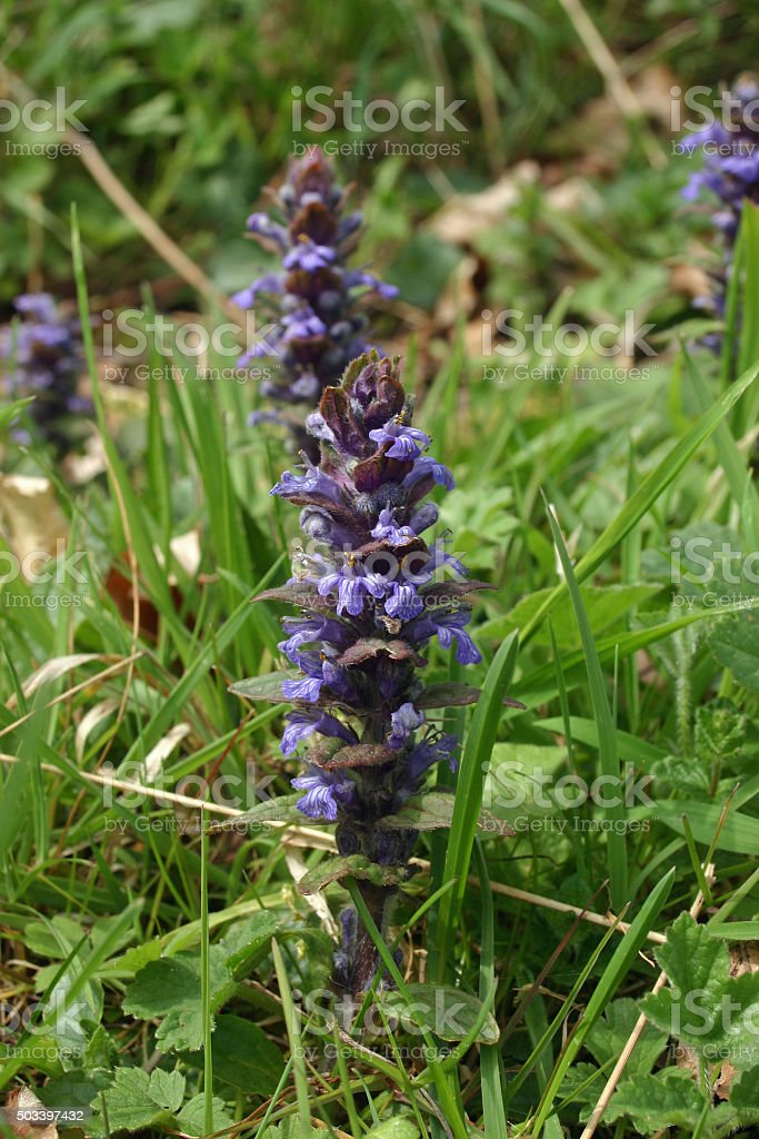 Bugle flower stock photo