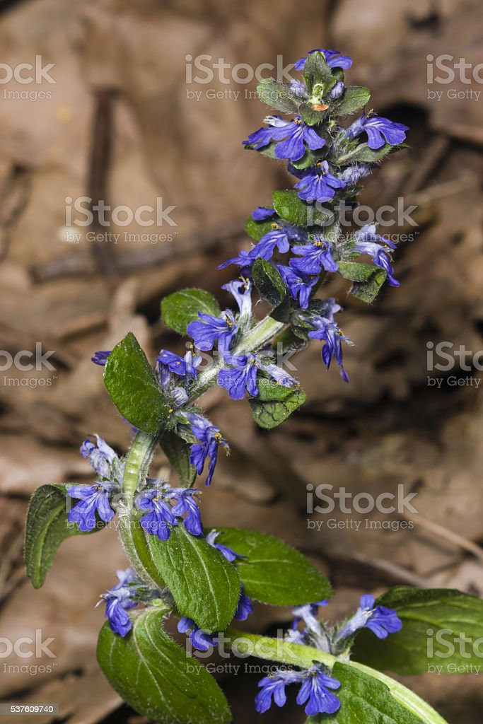 Bugleherb or bugleweed, Ajuga reptans, blossom with bokeh background, close-up stock photo