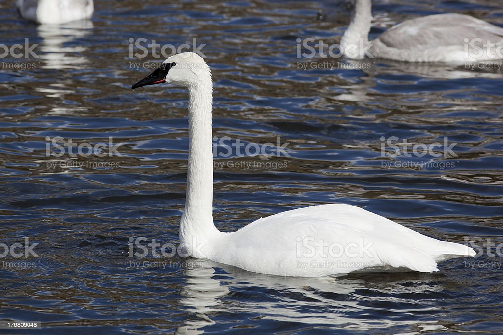 Bugler, Trumpeter, Swan, Cygnus buccinator royalty-free stock photo