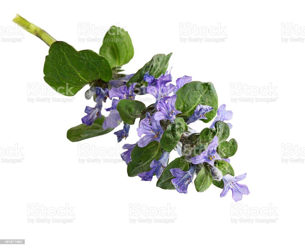 Bugleweed Flower stock photo