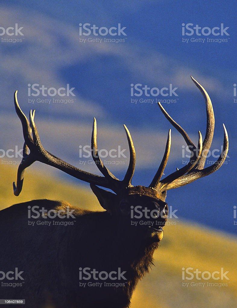 Bugling Bull Elk royalty-free stock photo