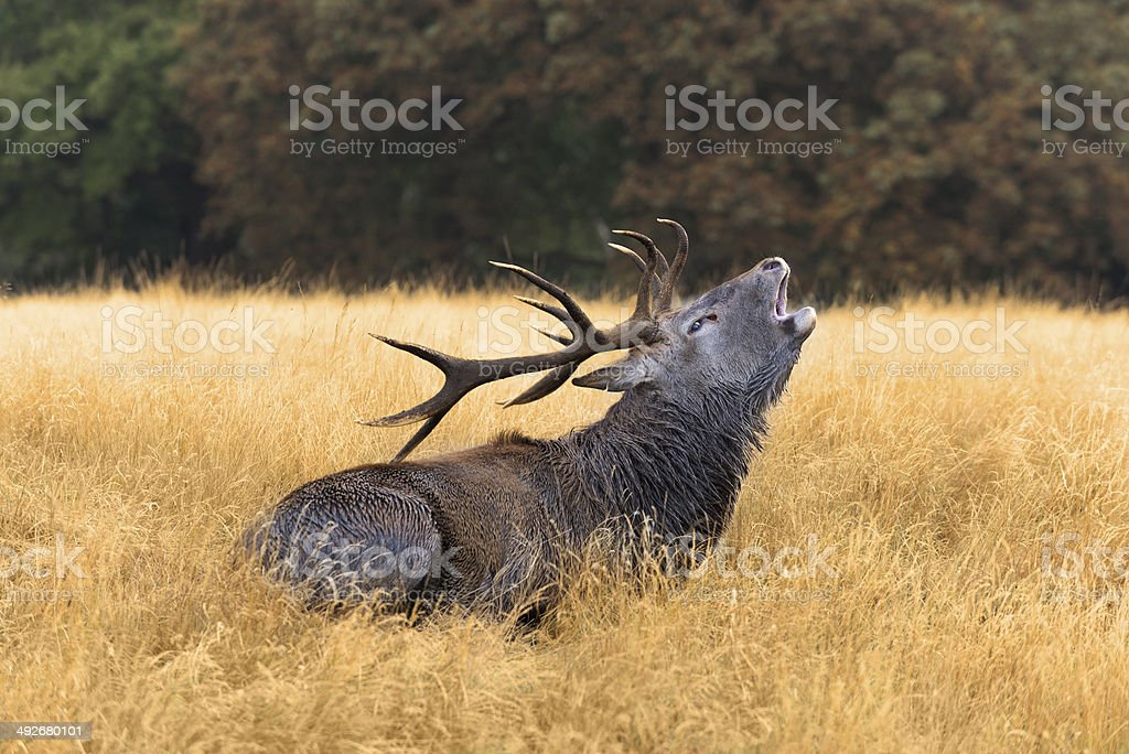 Bugling Bull stock photo