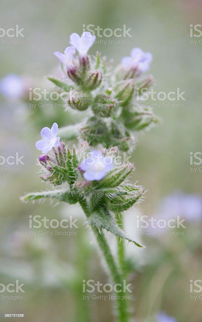 Bugloss (Anchusa arvensis) stock photo