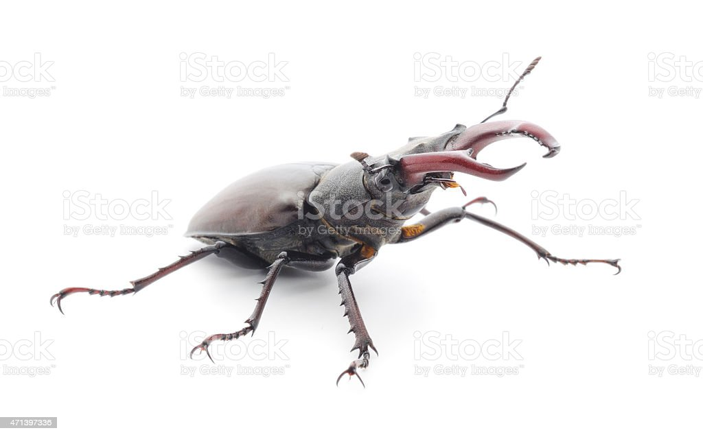 bugs (Oryctes Nasicornis) stock photo