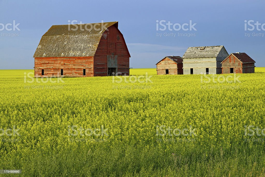 Buildings in Canola royalty-free stock photo