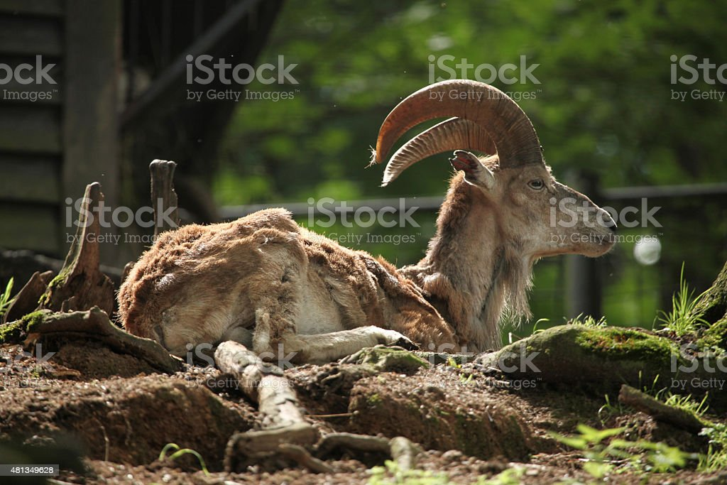 Bukhara urial (Ovis orientalis bochariensis). stock photo