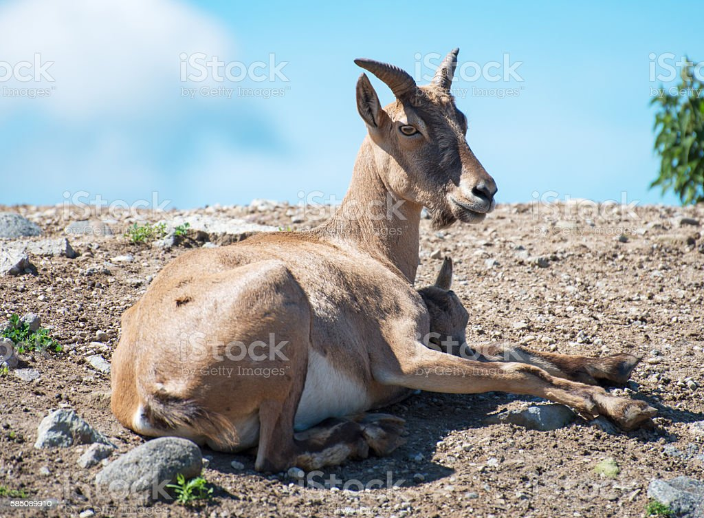 Bukhara urial resting in national park. stock photo