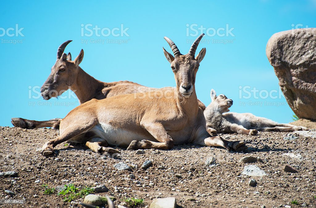 Bukhara urials resting in national park. stock photo