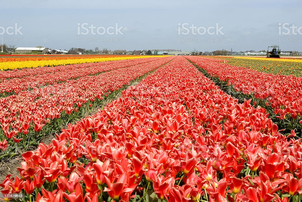 Bulb Fields Lisse royalty-free stock photo