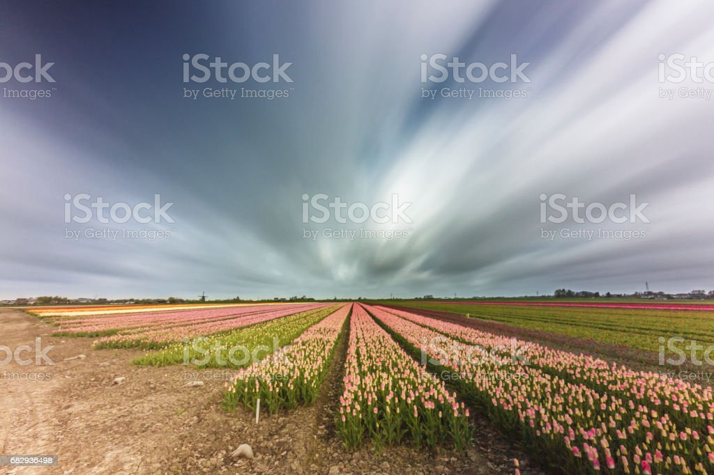 Bulb fields, Lisse the Netherlands stock photo