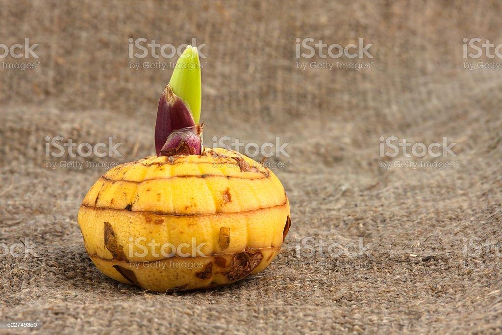bulb of gladiolus stock photo