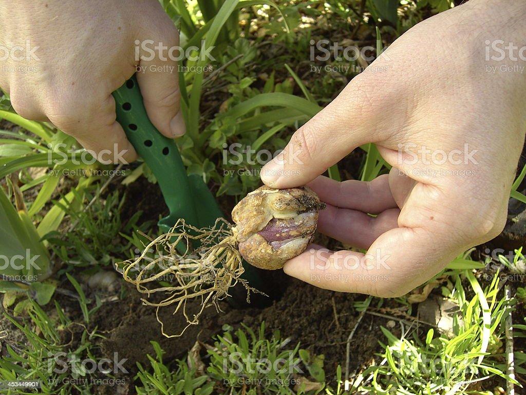 bulb planting stock photo