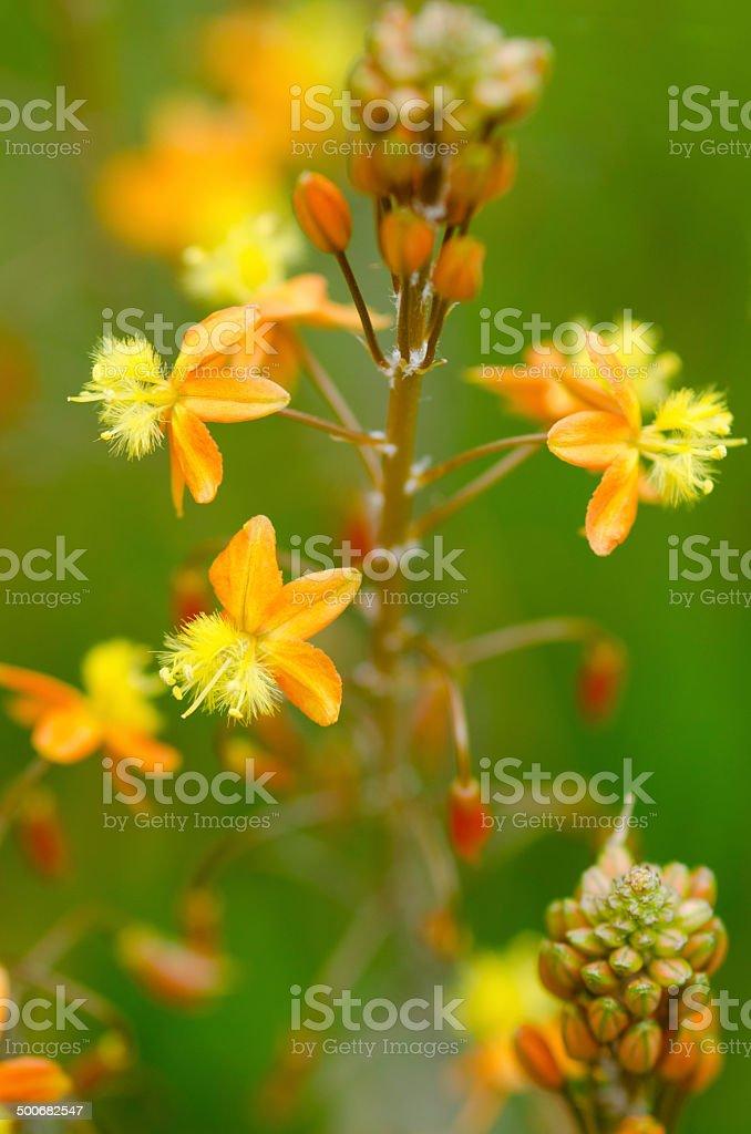 Bulbine frutescens flowers stock photo